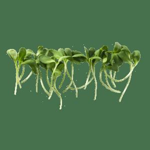 sunflower---group